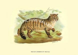 WILD CAT or DOMESTIC CAT - Felis Catus